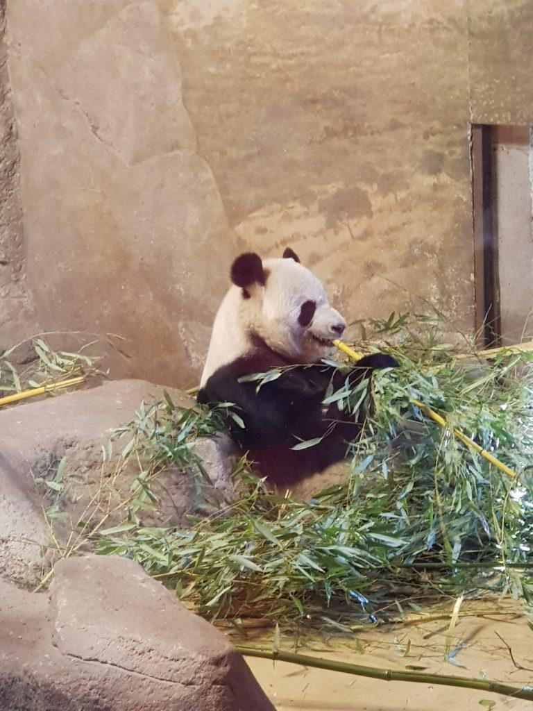 panda nello zoo per bambini di madrid