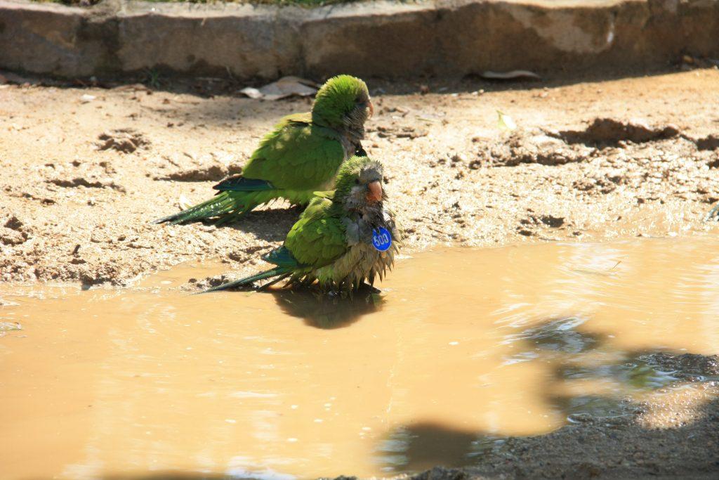 barcellona pappagallini